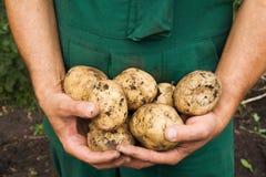 Het oogsten popatoes Royalty-vrije Stock Foto's