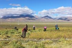 Het oogsten in Tibet Royalty-vrije Stock Afbeelding