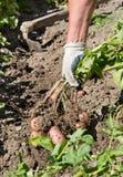Het oogsten van aardappel in tuin Stock Fotografie