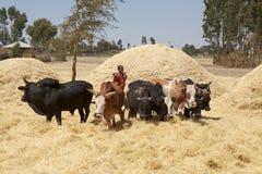 Het oogsten van Afrika Royalty-vrije Stock Fotografie