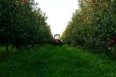 Het oogsten van appelen in de appelboomgaard stock foto