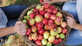 Het oogsten van appelen in de appelboomgaard stock footage