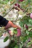 Het oogsten van appelen in de boomgaard De appelen van de handentrekkracht van takken Rustieke Stijl, Selectieve Nadruk Royalty-vrije Stock Afbeelding