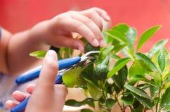 Het oogsten van calamansifruit van een huistuin royalty-vrije stock afbeelding