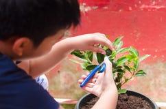 Het oogsten van calamansifruit van een huistuin stock afbeelding
