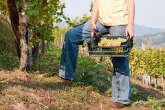 Het oogsten van de druif Royalty-vrije Stock Foto's