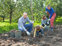 Het oogsten van de familie aardappels in tuin Royalty-vrije Stock Fotografie