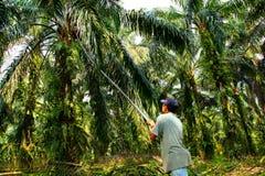Het Oogsten van de Palm van de olie Royalty-vrije Stock Foto's