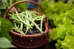 Het oogsten van de vrouw snijbonen in tuin Royalty-vrije Stock Afbeelding