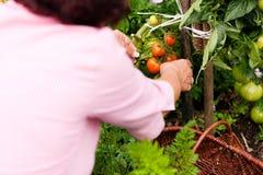 Het oogsten van de vrouw tomaten Stock Afbeelding