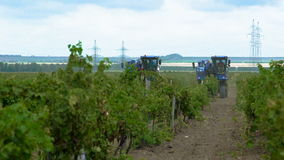 Het oogsten van Druiven in de Wijngaarden van de Krim stock video