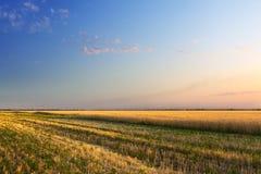 Het oogsten van het gewas is tarwe Royalty-vrije Stock Afbeeldingen