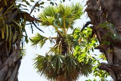 Het oogsten van het Palmsap stock afbeelding