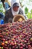 Het oogsten van KOFFIE IN INDONESIË Royalty-vrije Stock Afbeelding