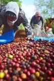 Het oogsten van KOFFIE IN INDONESIË royalty-vrije stock fotografie