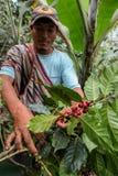 Het oogsten van koffiekersen Royalty-vrije Stock Afbeelding