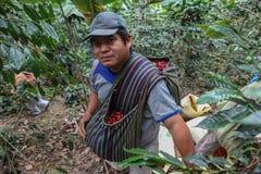 Het oogsten van koffiekersen Royalty-vrije Stock Foto