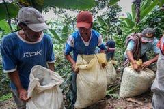 Het oogsten van koffiekersen Stock Afbeeldingen