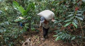 Het oogsten van koffiekersen Royalty-vrije Stock Afbeeldingen
