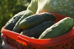 Het oogsten van komkommers royalty-vrije stock afbeeldingen