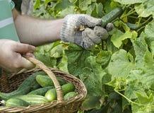 Het oogsten van komkommers van de tuin Royalty-vrije Stock Foto