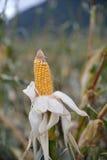 Het oogsten van maïs voor kuilvoeder Stock Foto's