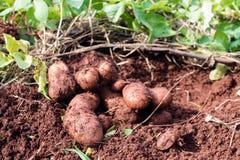 het oogsten van mooie aardappels met handen stock afbeelding