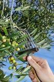 Het oogsten van olijven Stock Foto's