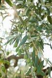 Het oogsten van olijven in Toscanië stock afbeelding