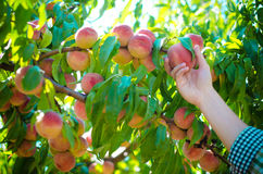 Het oogsten van perziken in de tuin Stock Foto's
