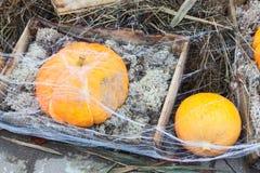 Het oogsten van pompoenen voor opslag in houten dozen Stock Fotografie