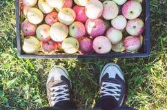 Het oogsten van rijpe appelen in de herfst stock afbeelding