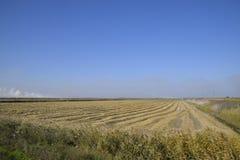 Het oogsten van Rijst op de Gebieden Afgeschuinde rijst op gebied Stock Afbeeldingen