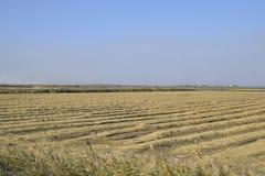 Het oogsten van Rijst op de Gebieden Afgeschuinde rijst op gebied Stock Fotografie