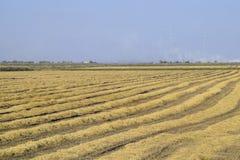 Het oogsten van Rijst op de Gebieden Afgeschuinde rijst op gebied Stock Foto