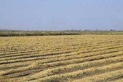 Het oogsten van Rijst op de Gebieden Afgeschuinde rijst op gebied Royalty-vrije Stock Afbeelding