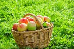 Het oogsten van rode sappige rijpe appelen in de herfst Royalty-vrije Stock Fotografie