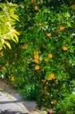Het oogsten van sinaasappelen in de tuin Royalty-vrije Stock Afbeelding