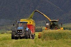 Het oogsten van triticale voor kuilvoeder Stock Afbeeldingen