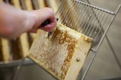 Het oogsten van verse honing van de bijenbijenkorf Stock Afbeeldingen