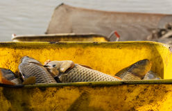 Het oogsten van vissen Stock Afbeeldingen