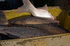 Het oogsten van vissen - close-up Stock Foto