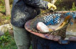 Het oogsten van vissen - close-up Stock Afbeelding