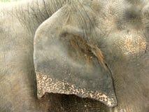 Het Oor van de olifant royalty-vrije stock fotografie