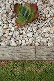 Het Oor van het varken in rotsachtige tuin Stock Fotografie
