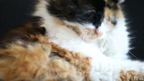 Het oor van kattenwassen met poot stock videobeelden