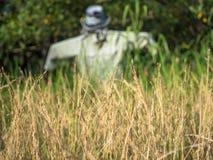 Het oor van rijst met vogelverschrikker op het gebied Stock Fotografie