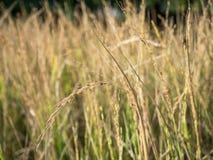 Het oor van rijst op het gebied Stock Afbeeldingen