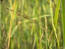 Het oor van rijst op het gebied Stock Fotografie