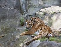 Het Oor van Tiger Cub Chewing Mom stock afbeelding